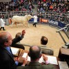 Super-size entry at Autumn Bull Sales