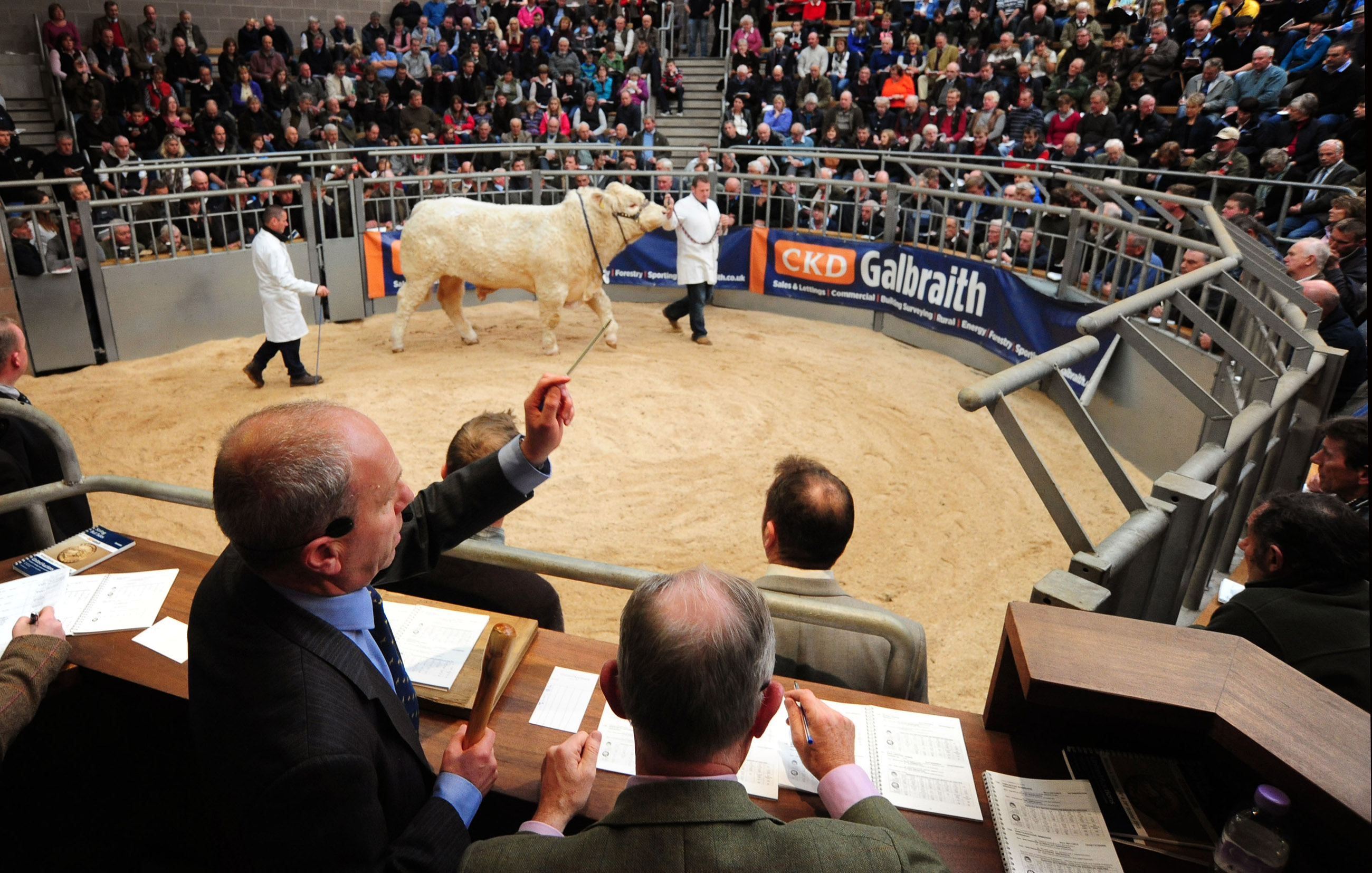 FREE IMAGES United Auctions Stirling Bull Sales October 2015